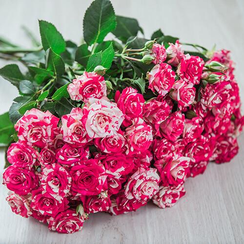 Двухцветная кустовая роза